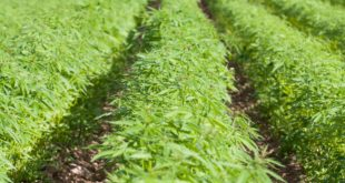 <strong>Surprising Innumerable Advantages of Hemp</strong>