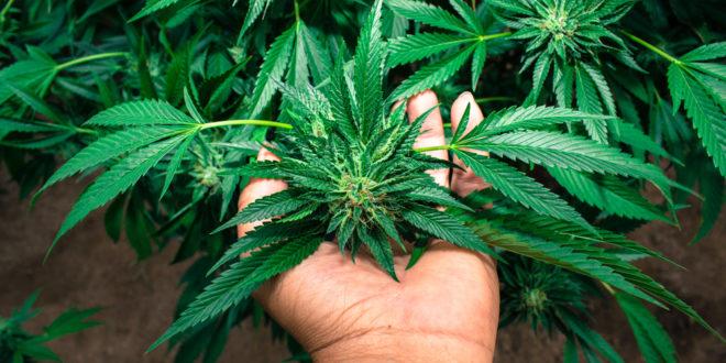 Splendid Guide on How to Grow Your Indica Marijuana