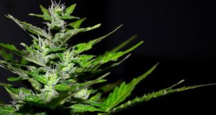 The Benefits of Growing With Autoflowers