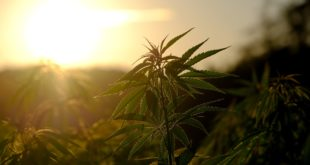 6 Health Benefits Of Combining Kratom With Cannabis
